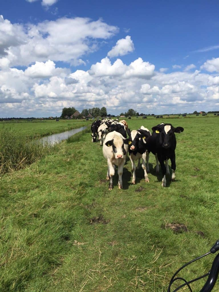 Cows in Holland on our countryside bike tour